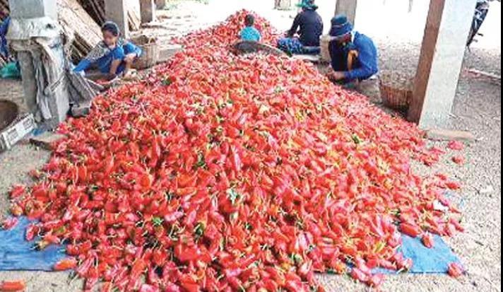 柬埔寨磅清扬省甜椒大增产售价大降