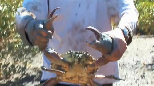 操大肥逼视频_男子捉到只6斤重的大螃蟹,那钳子比鸡腿还肥,桶都快装