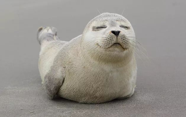 最喜欢软糯糯的表情包海豹图片