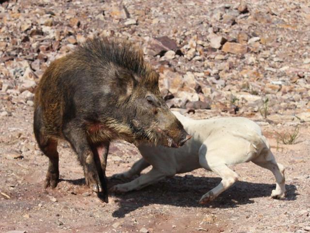 这种狗是天生的猎犬,狩猎美洲狮,打猎异常强悍!
