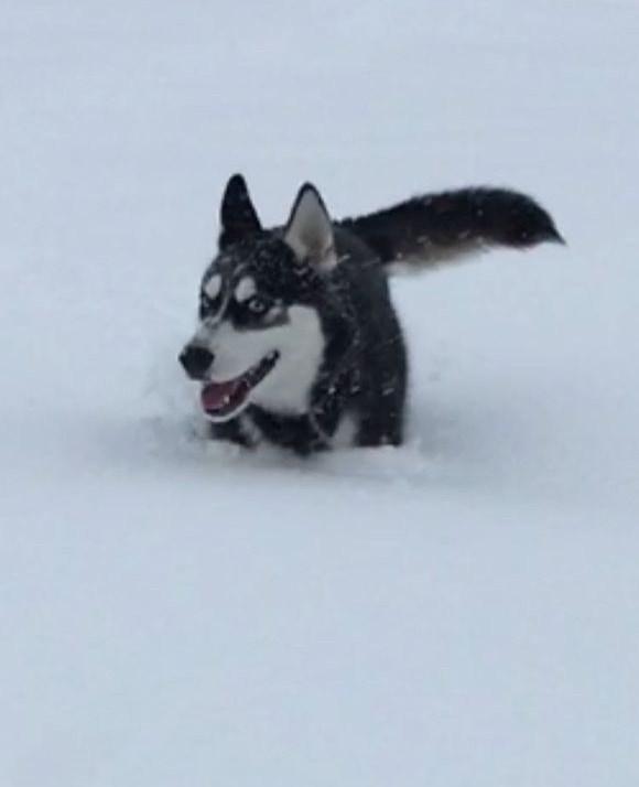 万万没想到白雪公主:二哈看到雪之后开始撒欢,但没想到跑出去没多远就图片