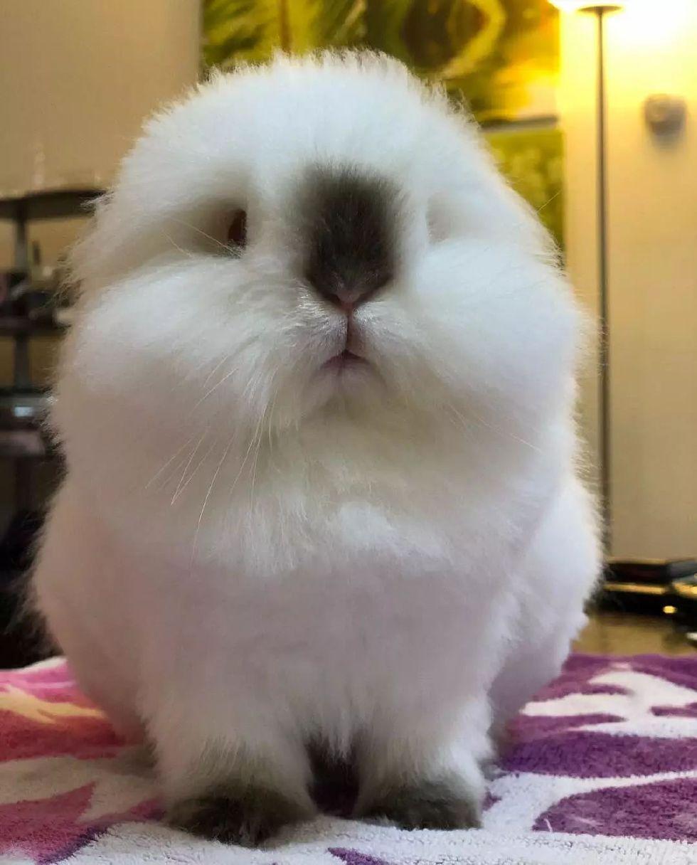 长得像棉花糖一样的兔子君,真的超想揉!