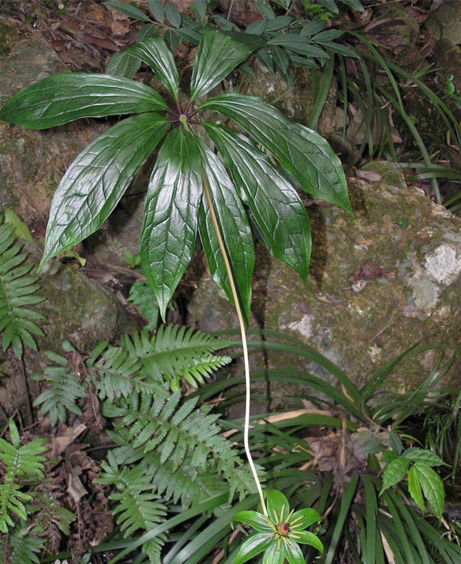 最后蟒蛇也死了,但是在蟒蛇死去的地方,长出了七片叶子拖着一株花的