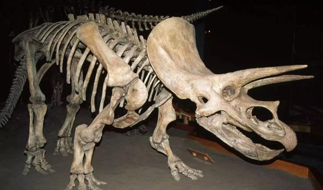 有关三角龙化石的图片 三角龙化石,恐龙,