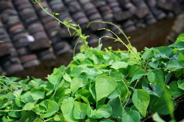百解是一种中草药,主要生长在南方地区的潮湿山坡上,是一种藤科植物