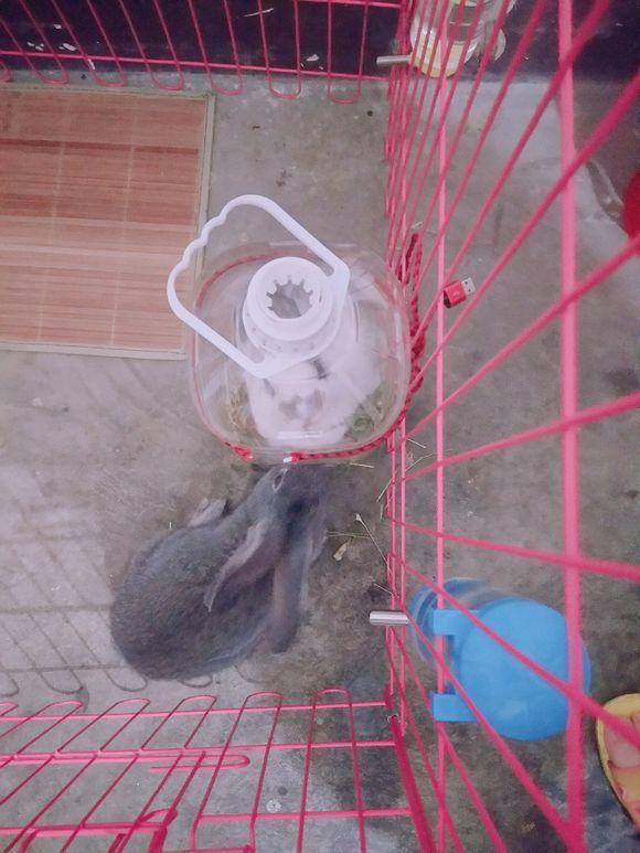 主人给兔子自制草架,吃着它就钻了进去,眼前这幕让网友直接笑喷