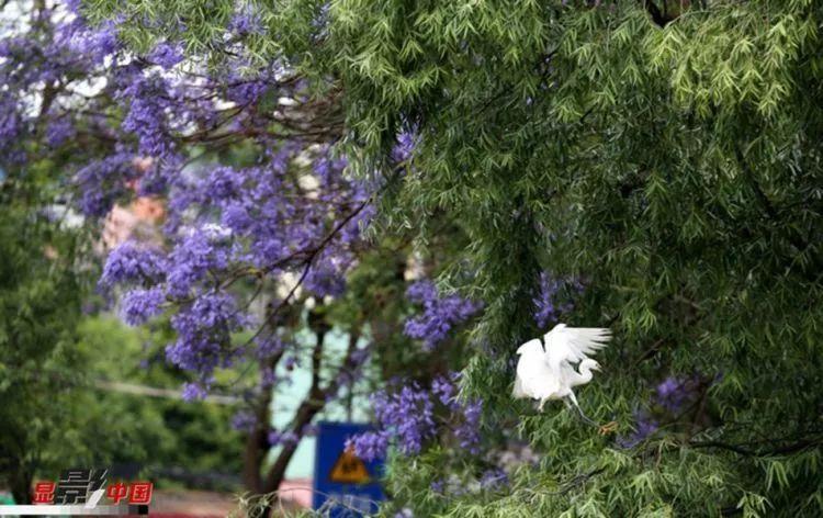 """昆明已被蓝花楹包围,5月这几条""""网红""""街美哭全国人民"""