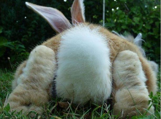 你仔细看过兔子的小PP吗,真是萌死了