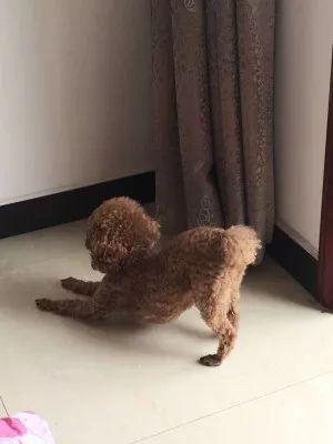 """狗狗趴在地上""""祈祷""""?可是因为肚子步骤自制抽油烟机的方法和剧痛图片"""