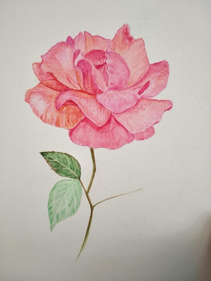 零基础学水彩:一朵蔷薇花手绘过程心得分享图片