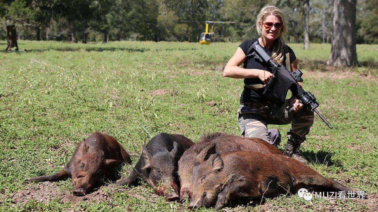 美国野猪泛滥,澳洲野猪比人都多,中国吃货:野猪生错了
