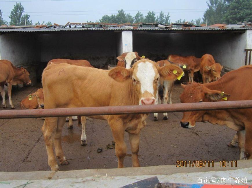 """肉牛养殖宝典:治疗肉牛蹄叶炎""""五步疗法"""""""
