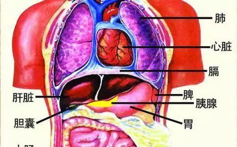 人体五脏六腑图解_【生活文摘报-健康】心肝脾肺肾等,人体五脏六腑最全的养护秘籍