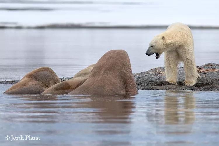 看上去海象体型更大,不到北极熊讨涂色便宜不用看来的画鲨鱼图片