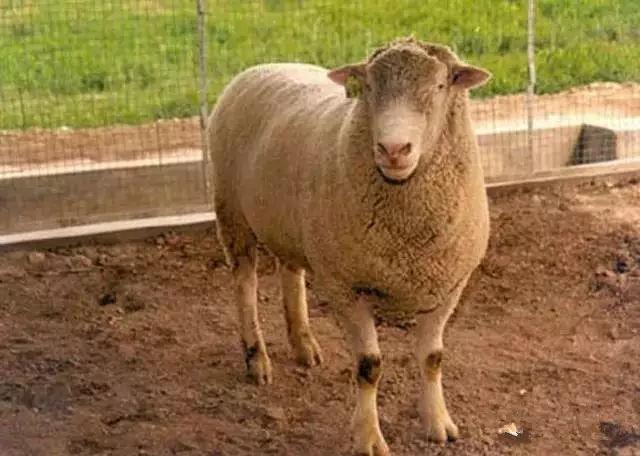 最肥的羊_大黑山羊