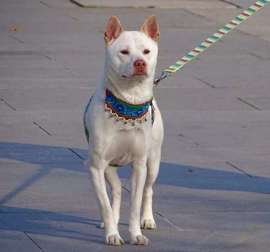 既有颜值又有实力的猎犬,它的名字叫做下司犬,是远近闻名的