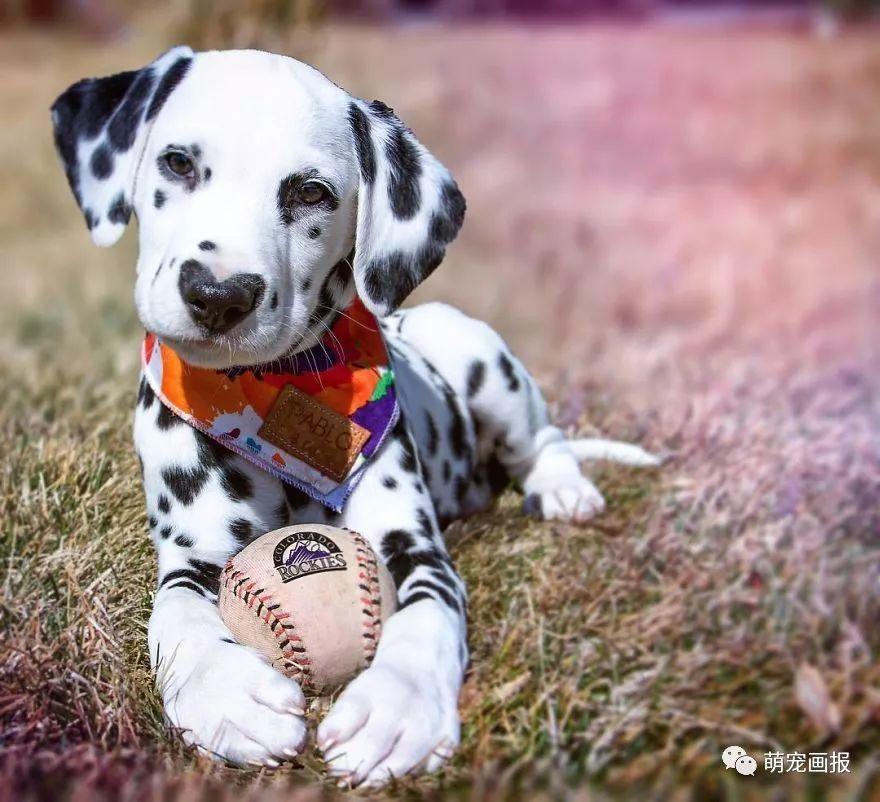 一枚可愛的斑點狗,小狗狗的鼻頭上帶著一顆愛心