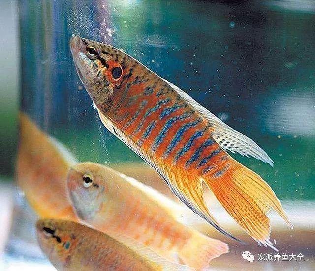 宠物鱼 这12种宠物鱼颜值高又非常好养,适合新手!~