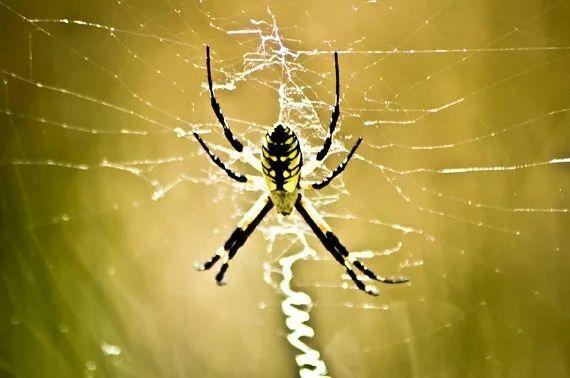 观察蜘蛛不无聊,启发科学家研究出更具粘性的胶水