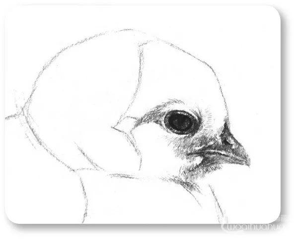 手绘素描:素描小鸡的绘画教程