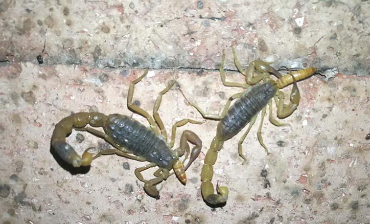 蝎子饲养管理方法