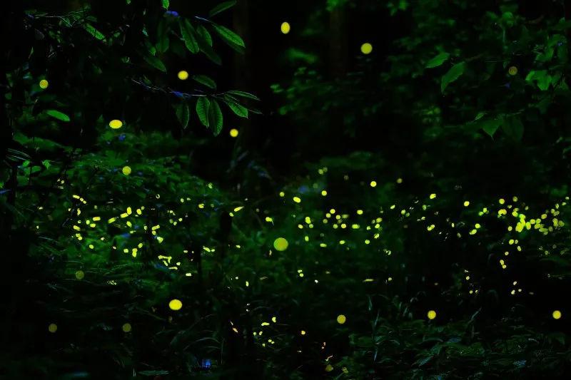 旅游 正文  从前两周开始,天台山的草丛中便开始有星星点点的萤火虫