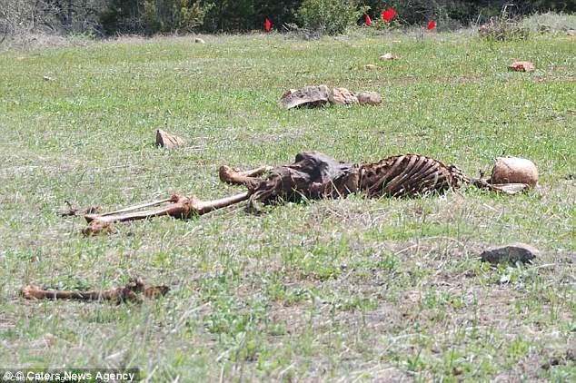 英国可能开设第一个尸体农场 美曾拍到野鹿闯农场吃人尸叼人骨