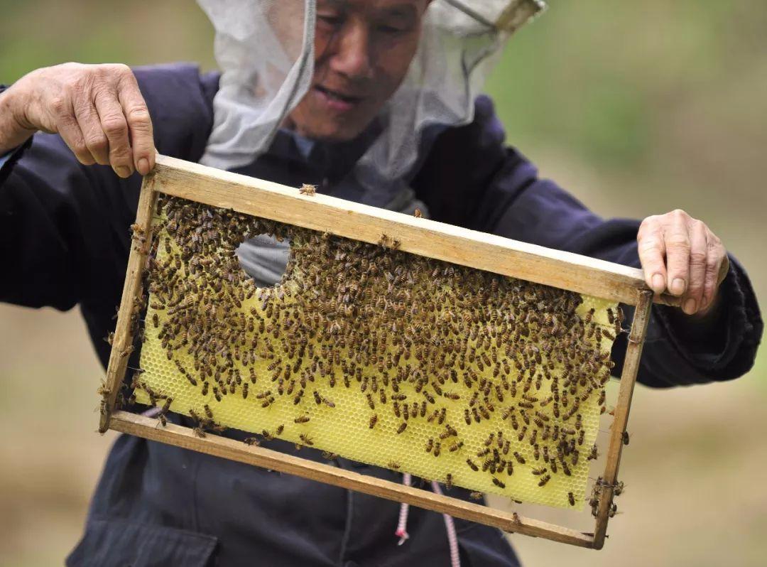 嗡嗡响的兔子,那些被刀刮到的同时就从蜂脾上的小孔里甩到了蜂脾下的小时每蜜蜂跑多少公里图片