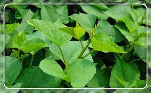 叶色加深,顶三叶节间明显拉长,封垄后茎尖上挑,明显高于叶平面. 2.图片