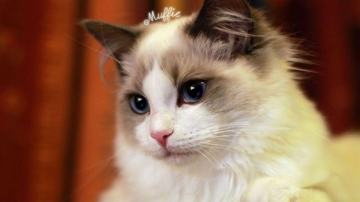 日本田园猫_正文  虽然都是喵星人 但也分很多不同的品种 有我们本土的中华田园猫