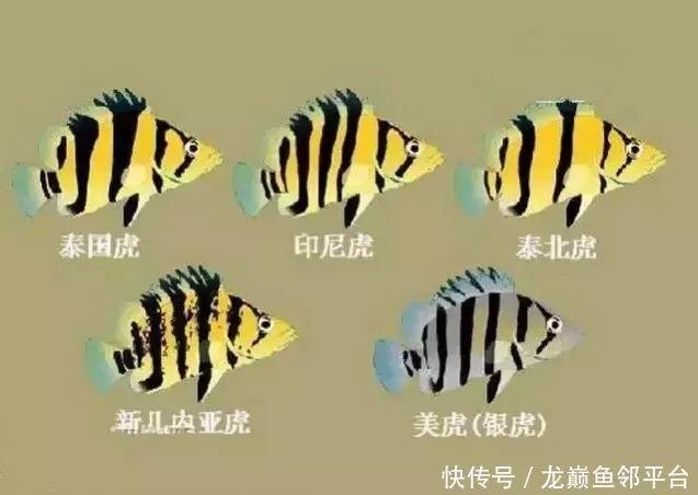 龙巅鱼邻谈:这些虎鱼,你都认识几种?