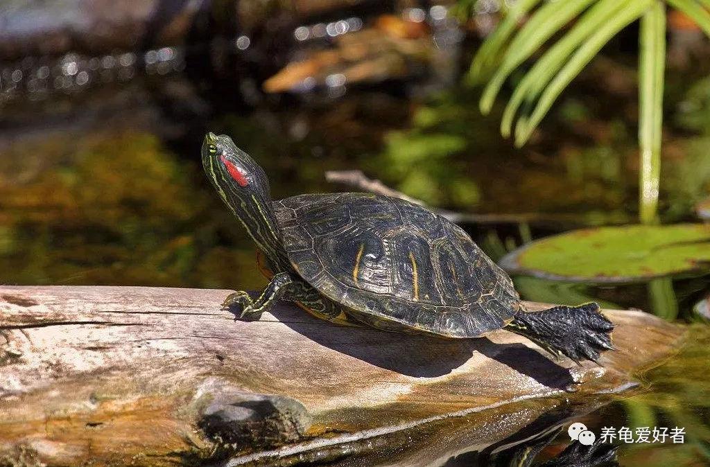 巴西龟的寿命最长只有35年?是龟中的短命王吗?