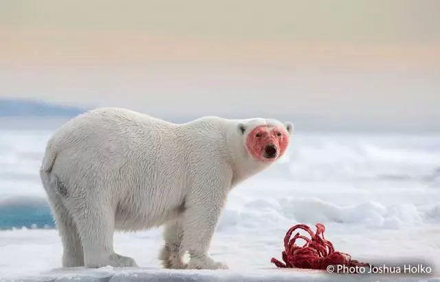 北极熊的冷儿歌你知道?鲨鱼视频英文一家知识图片
