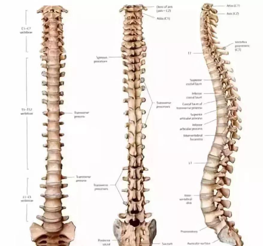 人体生理弯曲_人体脊椎生理曲度图1