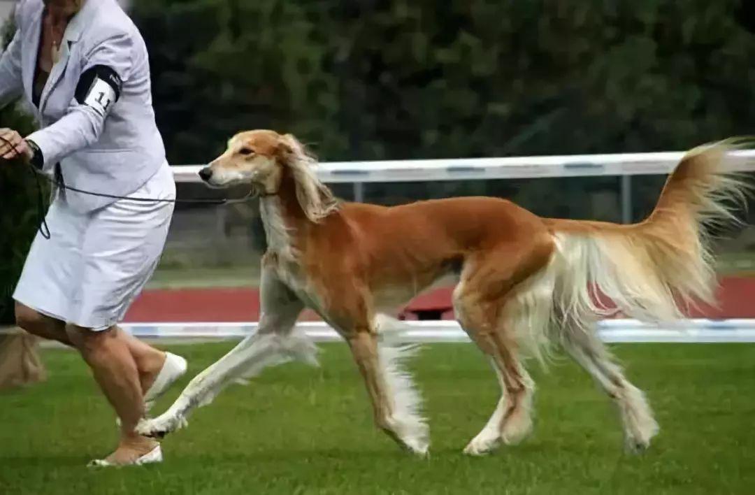 20,萨路基猎犬
