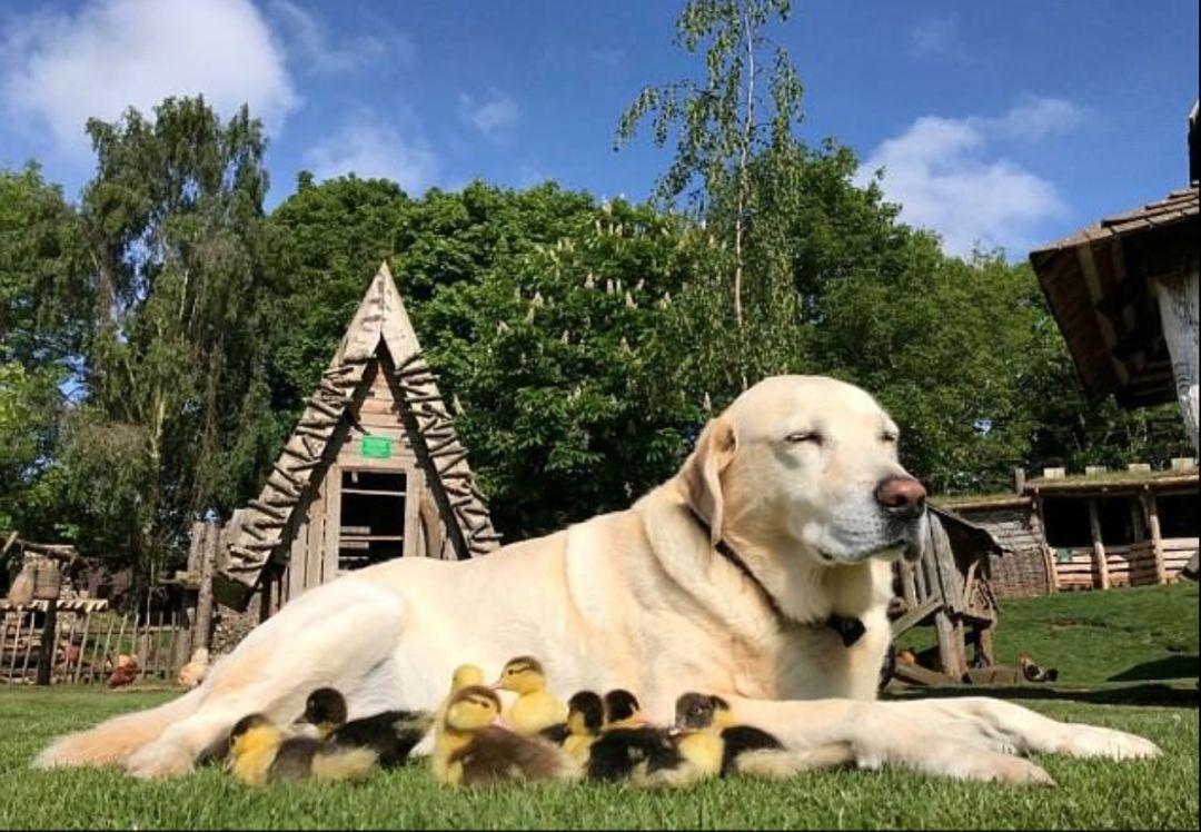 九隻鴨子的爸爸竟然是隻狗……