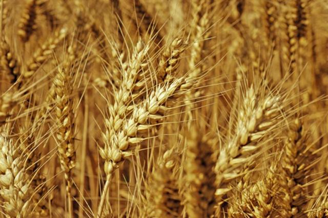 小麦割完就卖还是晒干存起来,看看这笔算账就知道了