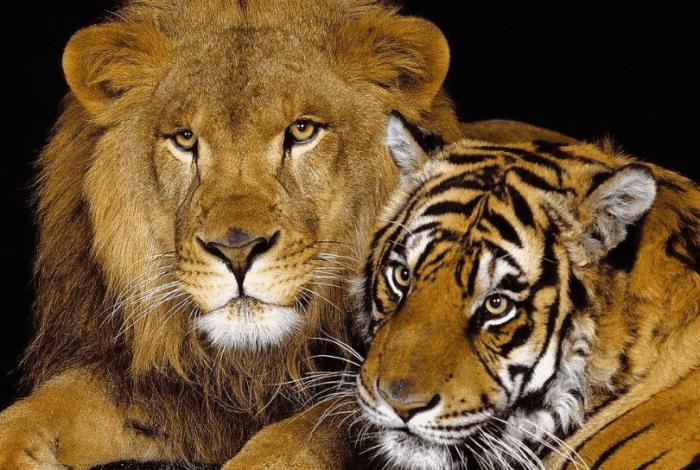 狮虎兽和虎狮兽谁大_狮子和老虎杂交的狮虎兽 陆地最大肉食动物