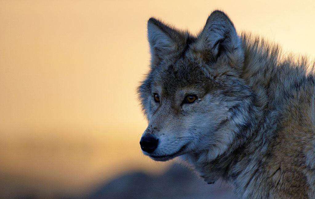 关于狼的励志故事_关于狼的小故事大道理_关于狼的感人短故事
