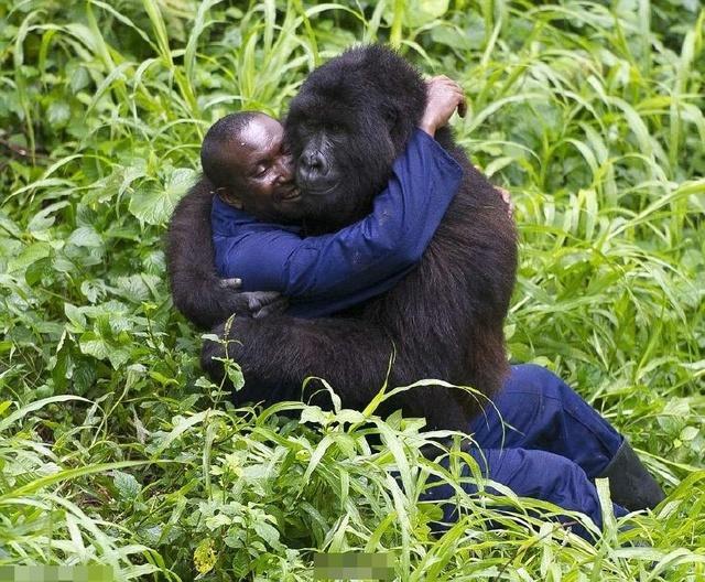 人和大猩猩同属人科,马和驴同属马科,但马和驴能生骡子,人与大猩猩呢