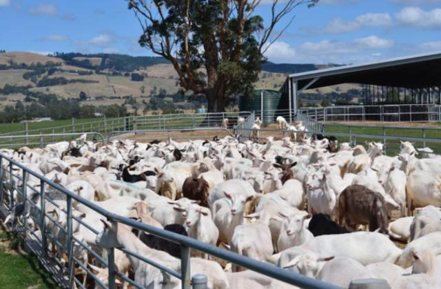 刘强东妻子持股的澳洲公司,打算三年向中国卖3.82亿羊奶粉!