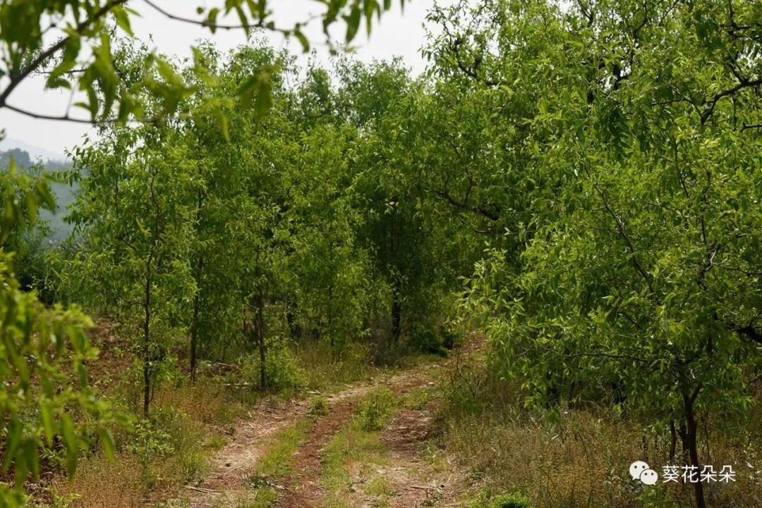 放眼一望,山间枣树遍野,一片苍翠,顺着山间小路,两旁长满了枣树,行走其间,未见其花,先闻其香;未闻风动,只闻蜂声.
