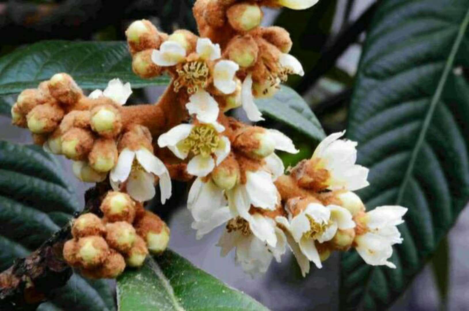 这种果树的花被人随便丢弃,却不知道这种花被称为 花黄金