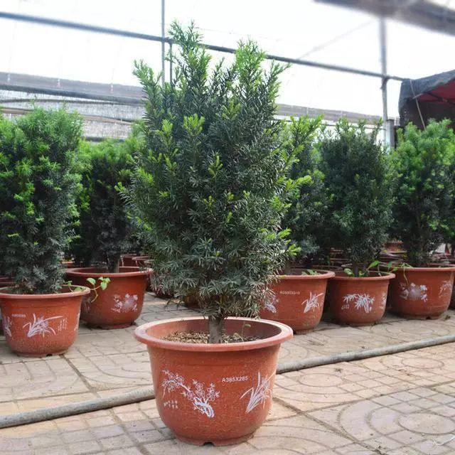 盆栽红豆杉上盆养护管理图片