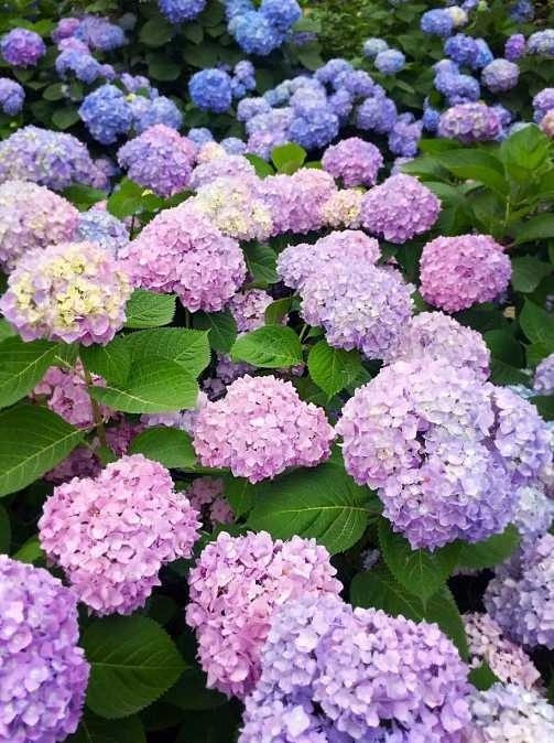 绣球花开在盛夏