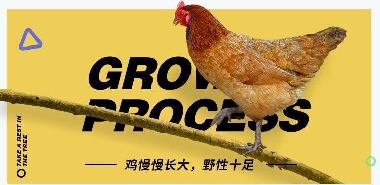 从山野漫步到餐桌美食 一只鸡的进化之路有多长