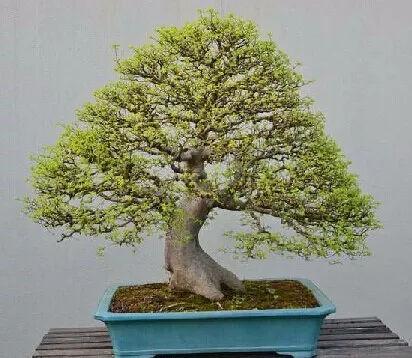 小叶榔榆,花皮榆,榆树,榉树的区别辨识之我见图片