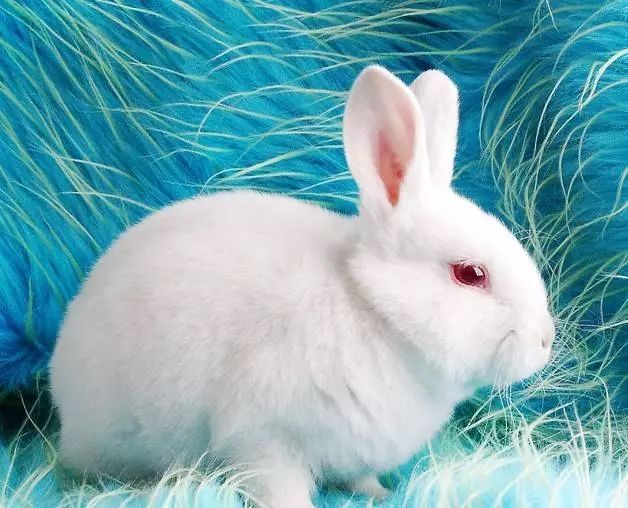 可爱的小白兔羊驼争夺配偶打架图片
