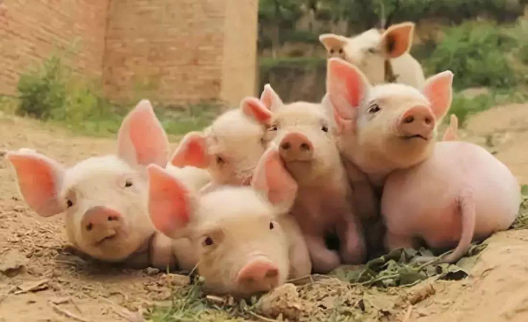 昌吉养猪厂