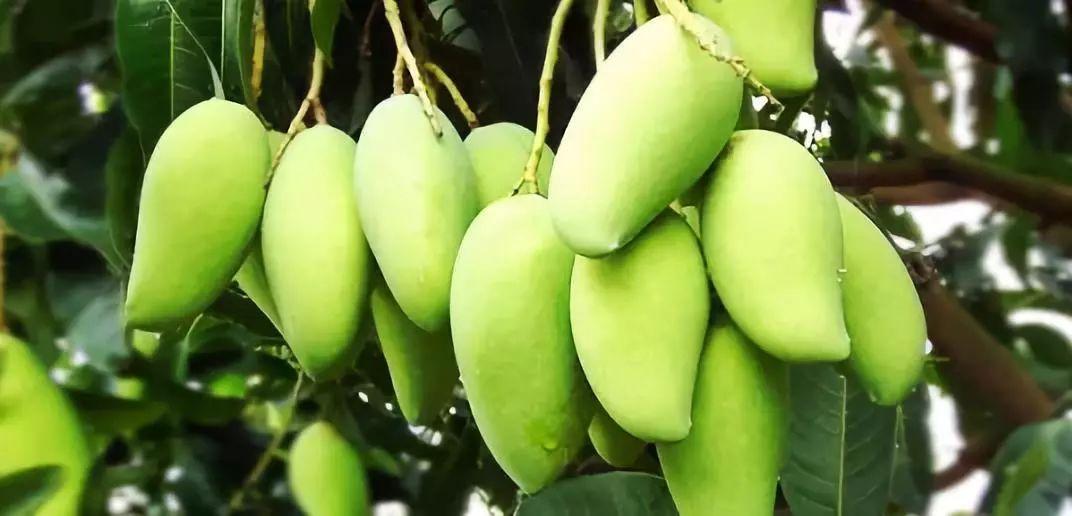 吃货注意 果肉最最最最最最厚实的芒果来了 还是缅甸进口的